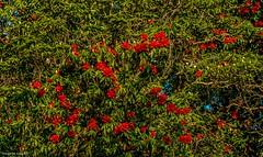 Spring time (Sougata2013) Tags: india mountain flower nature spring hill rhododendron mandi himachalpradesh redrhododendron prashar rhododendrontrees prasharlake tungamata
