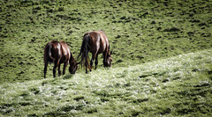 My GF Says I am down to earth (13skies) Tags: horses walking easy easygoing grounded downtoearth evenkeel easytotalkto