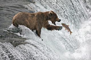 Alaska Brown Bear.