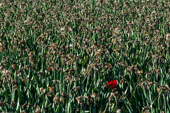 Skagit Valley tulip time (wacamerabuff) Tags: flower washington spring farm tulip skagit