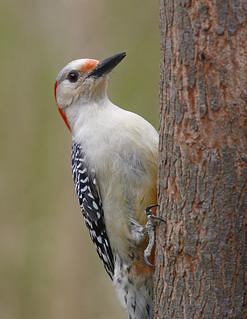 red-bellied-woodpecker--51