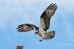 Male Osprey landing sequence - 4 of 13