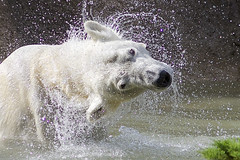 shake down (ucumari photography) Tags: bear animal mammal zoo oso nc north polarbear carolina april anana ursusmaritimus oursblanc 2015 osopolar ourspolaire specanimal dsc0219 ucumariphotography