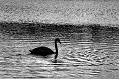 Solitary elegance (Fly bye!) Tags: water silhouette swan l ripples te mere marbury bigmere