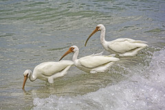 Ibis Trio Wading in the Waves
