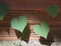 Composio 2 (Felippe Frigo) Tags: brazil plant brick planta brasil composition heart corao alegre santo espirito tijolo composio
