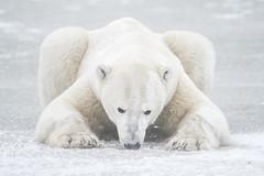 Respecting the wild: Introducing Nikon Europe Ambassador, Vincent Munier (I Am Nikon Europe) Tags: bear white wolf wildlife arctic pro polar subzero wildlifephotography vincentmunier