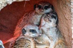Erdmnnchen / Meerkat (Doris & Michael S.) Tags: tamronaf70300mm tiergarten erdmnnchen zooleipzig tiere sonyilcaalpha77ii animals fuchsmanguste meerkat sonyilca77m2 yellowmongoose zoo