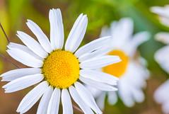 Smile... Sommer in der Stadt (Florian Grundstein) Tags: margeriten blume pflanze flora flower blossom macro yellow white nahaufnahme closeup nikon d610 sigma ex105 os grundstein florian
