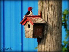 Pic  tte rouge (Marie-Lise Photographie) Tags: