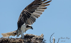 The Eagle (Osprey) has Landed! Explored 7/12/16 (dbking2162) Tags: bird beach nature birds animal nest florida fort wildlife birdofprey myers