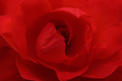 R E D (fucsia_7) Tags: red flower floral rose canon one flor rosa