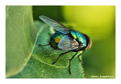 Fly Me 2 the Moon (TooLoose-LeTrek) Tags: macro nature trash bug fly garbage jeffgoldblum olympusomdem5ii