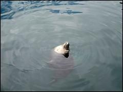Foca (1) (hatorbu) Tags: animals animales foca seal aquiariumfinisterrae acorua acuario aquarium nofilter sinfiltro