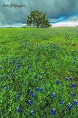 North Table Mountain Bloom... (markarlilly) Tags: northtablemountain tablemountain northtableecologicalreserve oroville california lupines zeiss zeiss15mm buttecounty sacramentovalley sacramento northerncalifornia oak distagon1528zf