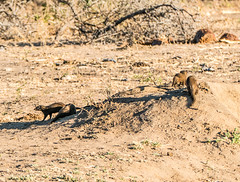 Mongoose (MarcCooper_1950) Tags: africa south safari mongoose