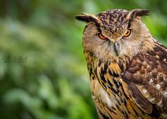 It's Hoot Out Here!!! (Ruth S Hart) Tags: uk portrait bird big nikon expression character essex d300 europeaneagleowl nikondslrusersthebistro nikon7002000mmf28 ruthshart
