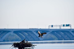 Hungry Baby (eaglespiritsoaring) Tags: outdoor bird osprey feeding young nest bridge potomac alexandria dc marina