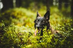 IMG_4124 (jabberjinx) Tags: dog dogs canon shepherd canine hh brindle dutchshepherd dogphotos hollandse dutchie paimenkoira hollandseherder canoneos7d canon7d hollanninpaimenkoira holsku