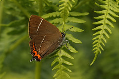 White-letter Hairstreak (Chris B@rlow) Tags: satyriumwalbum hairstreak whiteletterhairstreak butterfly butterflies ukbutterflies bolamlake northumberland macro outdoors nature wildlife insects canon canon7d canon7dmarkii naturephotography lepidoptera