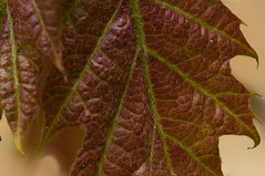 Red colored leaf (Pascal vd Wassenberg) Tags: quiet extreme extensiontubes extrememacro red texture tripod yellow outdoor outside nice view distanse field wide filter air light organic organicpattern photography plant plain awsome art abstract atmosphere sony serene statief simplicity tamron dof depthoffield fotografie foliage forest good green holland closeup netherlands nature natuur nederland natuurmonumenten noordbrabant ngc veins monopod macro 90mm