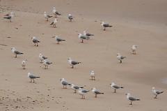 seagulls on a beach - winter (tom.edwards1974) Tags: seagulls gulls beach winter afternoon color colour landscape seascape sea water ocean shore sorrento melbourne victoria australia sand