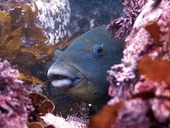 Blue Grouper, Scuba diving Jul 2016 at Gordons Bay, Sydney (sarah.handebeaux) Tags: gordons bay sydney australia scuba diving july 2016