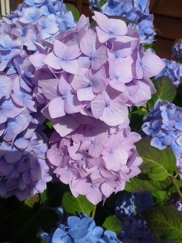 Blue and Lilac Hydrangeas !
