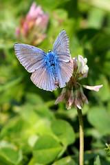 hím közönséges boglárka / male Common Blue (debreczeniemoke) Tags: nyár summer rét meadow rovarok insecta lepke pillangó butterfly közönségesboglárka hím commonblue male argusbleu azurécommun azurédelabugrane hauhechelbläuling icaro polyommatusicarus boglárkalepkék lycaenidae olympusem5