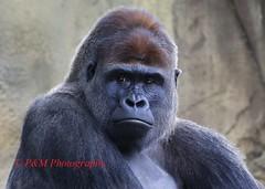 Western lowland Gorilla.   Gorilla gorilla gorilla (paulberridge) Tags: westernlowlandgorilla gorillagorillagorilla monkey primate animal mammal nature wild wildlife tarongazoo sydney australia male silverback silver grey