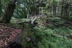 Reichenbach_1 (willykerntopp) Tags: wald reichenbach knigstein rhein main blte kerntopp