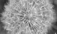 Stardust (Swaentje5) Tags: macro depthoffield dandelion taraxacumofficinale paardenbloem blowball pappus pluizenbol macromondays flowersinblackwhite