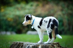 North (I See BC) Tags: puppy border collie blue tri merle 8 weeks old canine pet animal