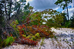 Fall-en Tree (FunkadelicSam) Tags: doggo dogs animals florida water flood swamp woods country beagle fun hilarious cute puppy america trees autum fall halloween is comming