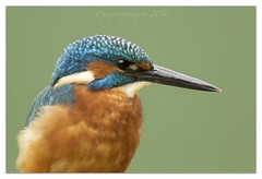 Frame Filler... (cheffievrs) Tags: 1dmkiv 2xiii 600mmf4lis alcedoatthis borderfx branch canon fish fishing fullframe juvenile kingfisher nature nocrop river wild wildlife