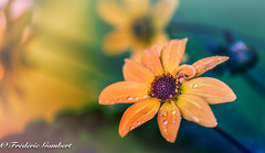 orange rainy dreams (frederic.gombert) Tags: orange light color colors colorful flower flowers green sun sunlight macro macrodreams nikon d810 plant garden park gnneniyisi thebestofday