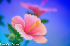 blue twins of Summer (frederic.gombert) Tags: blue light sun sunlight flower flowers hibiscus red orange color colors colorful spring summer nikon d810 dof