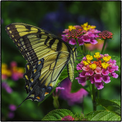 Butterfly_SAF0913-3 (sara97) Tags: black butterfly copyright2016saraannefinke easterntigerswallowtail flyinginsect insect missouri nature outdoors photobysaraannefinke pollinator saintlouis swallowtail towergerovepark urbanpark yellow papilloglaucus