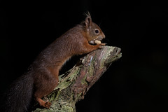 Red Squirrel (ToriAndrewsPhotography) Tags: brownsea island dorset red squirrels nuts photography andrews tori