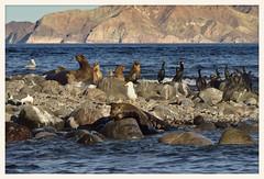 Life on the Rocks (gauchocat) Tags: bahiadelosangeles bajacalifornia seaofcortez