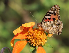 Schmetterlingswetter (julia_HalleFotoFan) Tags: distelfalter edelfalter vanessa schmetterling vanessacardui paintedlady