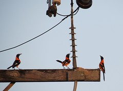 urbana com aves (jakza - Jaque Zattera) Tags: fio aves passarinhos guaxe urbana