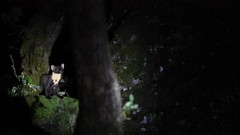 Pine Marten at night. (Sandra Standbridge.) Tags: pinemarten outdoor wildandfree mammal scotland canoneos7dmarkii forest magical secretive rare trees rocks woodland