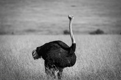 Avestruz / Ostrich (rrmontero) Tags: animal animals safari masaimara africa kenia kenya wildlife avestruz ostrich