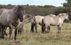konik-horses (bugman11) Tags: konik horses horse animal animals mammal mammals nederland thenetherlands nature canon fauna 100mm28lmacro 1001nights 1001nightsmagiccity infinitexposure thegalaxy