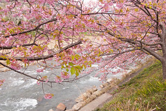 DS7_1786.jpg (d3_plus) Tags: street sea sky plant flower nature car rain japan drive spring scenery cloudy wideangle rainy  cherryblossom  sakura   shizuoka    touring  izu  kawasaki  prunus superwideangle  rapeblossoms kawazu     sakurafestival       a05   kawazuzakura  1735mmf284 tamronspaf1735mmf284dildasphericalif tamronspaf1735mmf284dildaspherical d700  nikond700 tamronspaf1735mmf284dild tamronspaf1735mmf284 kawazucherryblossom tamronspaf1735mmf284dildasphericalifmodela05