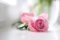 50mm pink rose (auroradawn61) Tags: uk england flower rose march nikon soft pin pastel dorset athome poole pinkrose windowledge glassvase 2015 50mmlens niftyfifty hamworthy