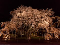 lighted up weeping cherry tree (gemapozo) Tags: park japan garden tokyo pentax 日本 rikugien 六義園 さくら 東京都 文京区 シダレザクラ 枝垂桜 645z smcpentaxfa6453355mmf45al