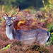 Fallow Deer, Forest of Dean, Gloucestershire