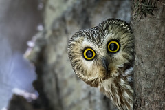 Saw-whet (Peter Stahl Photography) Tags: canada spring alberta owl sawwhetowl sawwhet